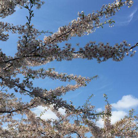 Lyserøde kirsebærtræer